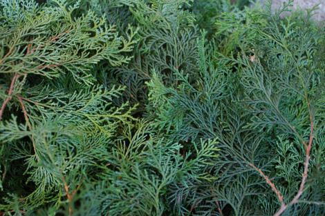 Japanese Cypress (Hinoki)